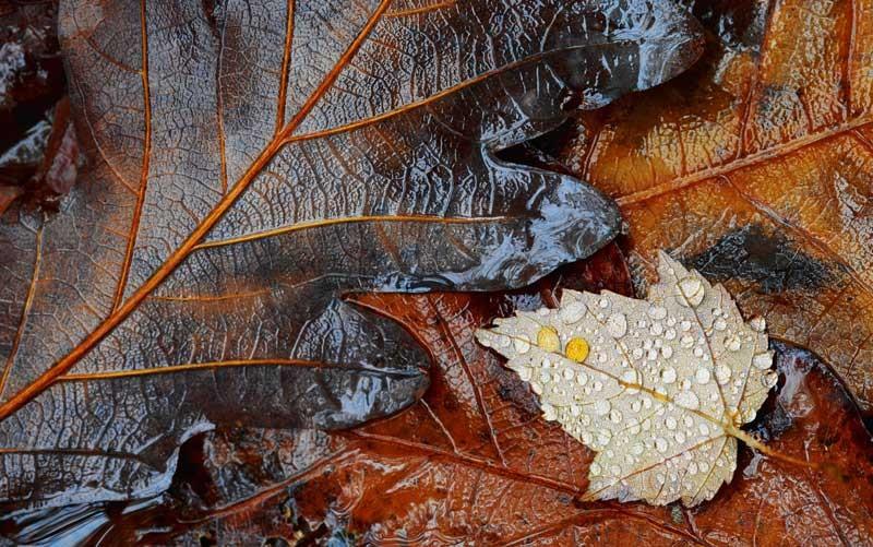 Tablou Frunze de toamna cu roua