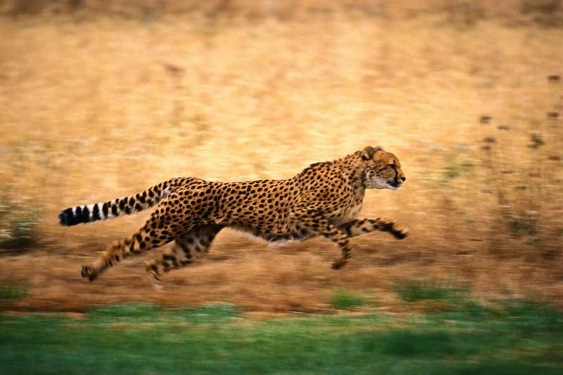 Tablou Leopard in actiune