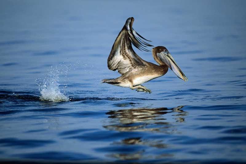 Tablou Pelican