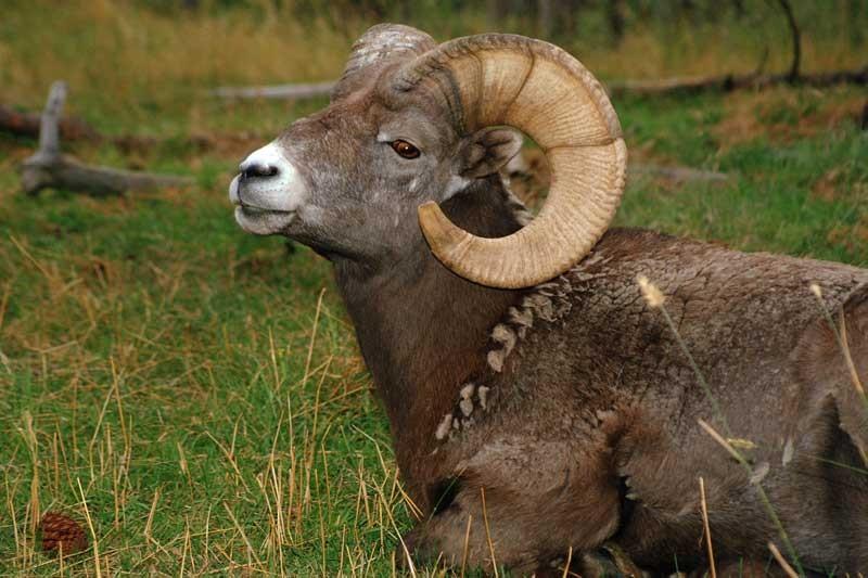 Tablou Ram Animal