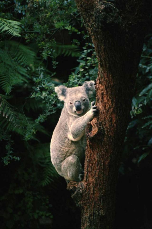 Tablou Urs Koala
