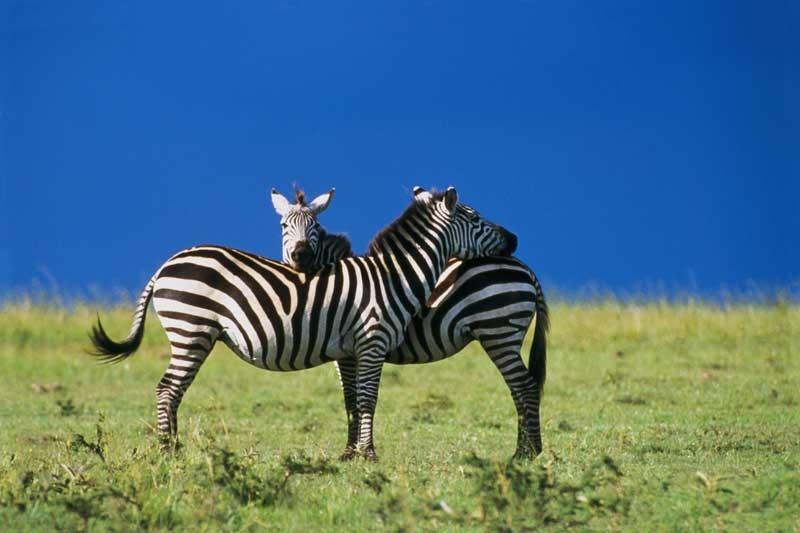 Tablou Zebre