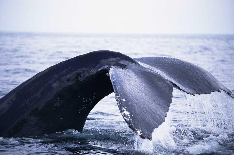 Tablou Balena