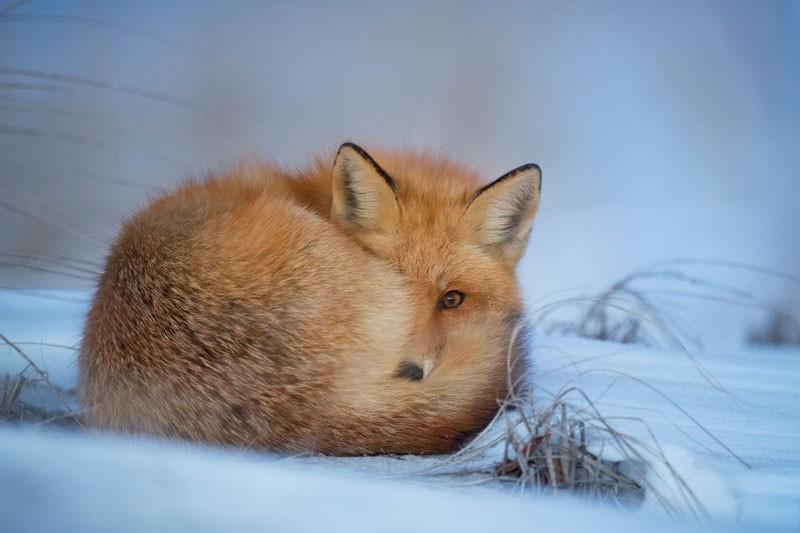 Tablou vulpe iarna