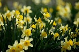 Tablou Narcise