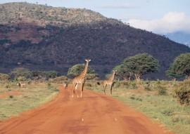 Tablou Girafe