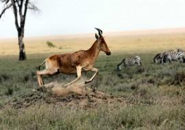 Tablou Antilopa