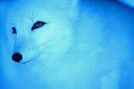Tablou Vulpe Polara