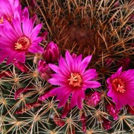 Tablou  Floare De Cactus