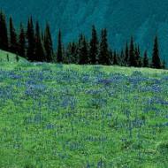 Tablou Floricele de munte