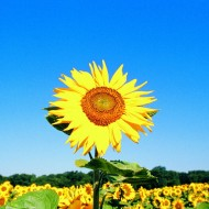 Tablou Multicanvas Floarea-Soarelui