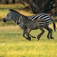 Tablou Zebre mama si pui