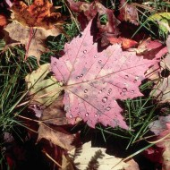 Tablou Frunze Colorate