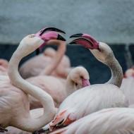 Tablou Flamingo