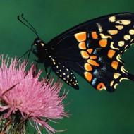 Tablou Fluture