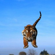 Tablou Tigru in actiune