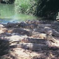 Tablou Crocodili