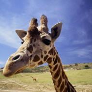 Tablou Girafa