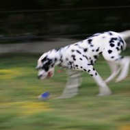 Tablou Dalmatian