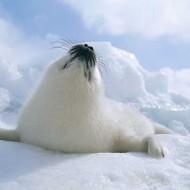 Tablou Foca Polara