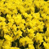 Tablou Camp de Narcise Galbene