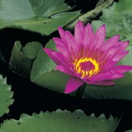 Tablou Flori de nufar