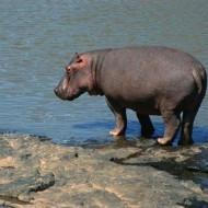 Tablou Hipopotam