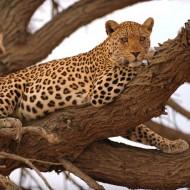 Tablou Leopard