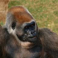 Tablou Maimuta