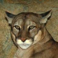 Tablou Puma