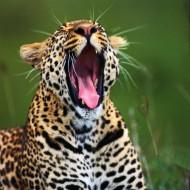 Tablou Tigru