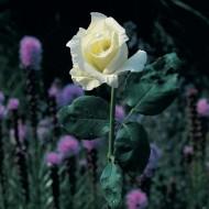 Tablou Trandafir Alb
