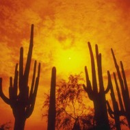 Tablou Cactus