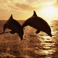 Tablou Delfini