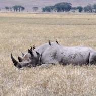 Tablou Rinocer