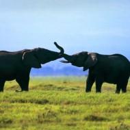 Tablou Multicanvas Elefanti pe Camp