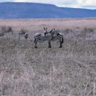 Tablou Zebra
