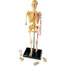 Macheta corpul uman - Schelet
